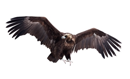 vulture: Flying black vulture  Isolated over white background
