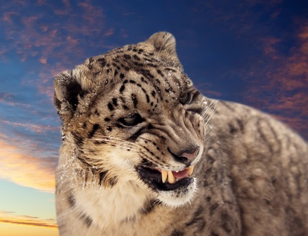 Head of Snow leopard against sunset sky Stock Photo - 12938147