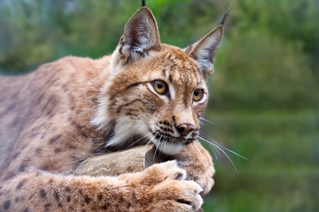 Lynx lying on the background of wild nature Stock Photo - 12938010
