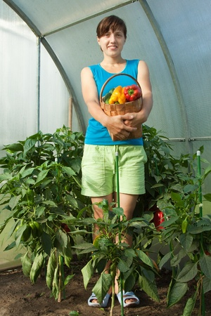 woman is picking of ripe pepper in the greenhouse photo