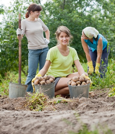 three women harvesting potatoes in field photo