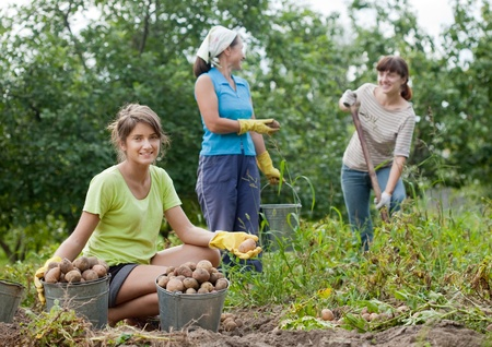 three women harvesting potatoes in field Stock Photo - 12940855