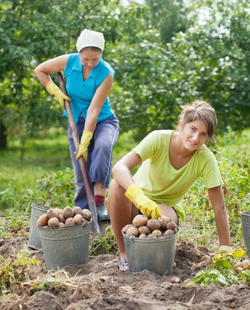 Two women harvesting potatoes in field photo