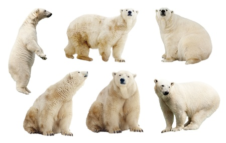 Set of polar bears. Isolated over white background   photo