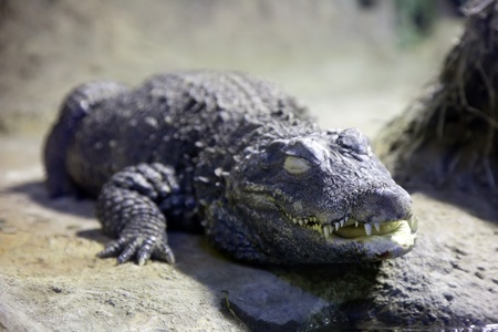 wildness: Lying  dwarf crocodile  in wildness area