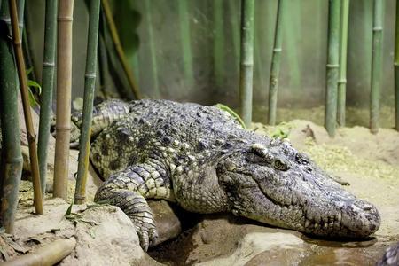 siamensis: Siamese crocodile (Crocodylus siamensis)   in bamboo grove