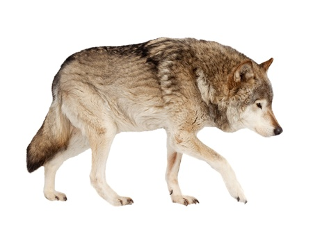 wolf. Isolated over white background  photo