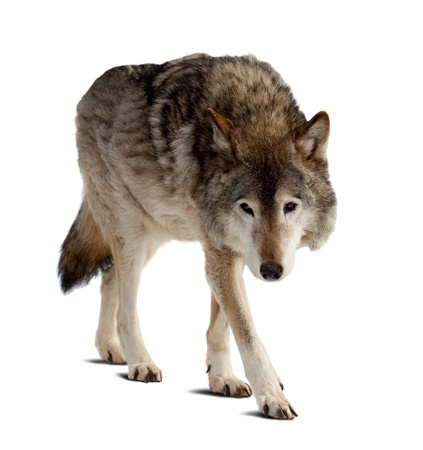 timber wolf: wolf. Isolated over white background with shade