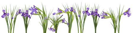 iris flowers border. Isolated on white  background photo
