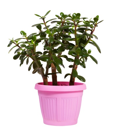 jade tree in  pot. Isolated on white background photo