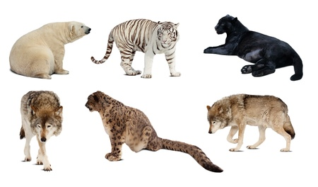 Set of Carnivora mammal. Isolated over white background with shade Stock Photo - 13151744