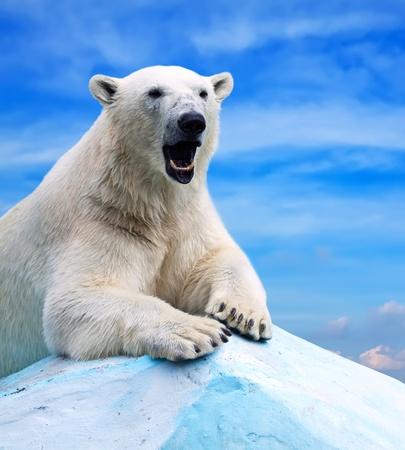 bear: oso polar en el �rea de salvajismo contra el cielo Foto de archivo