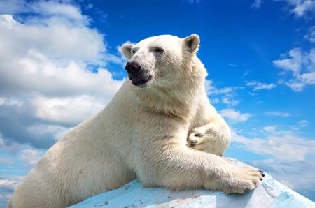 oso blanco: oso polar en el área de salvajismo contra el cielo Foto de archivo