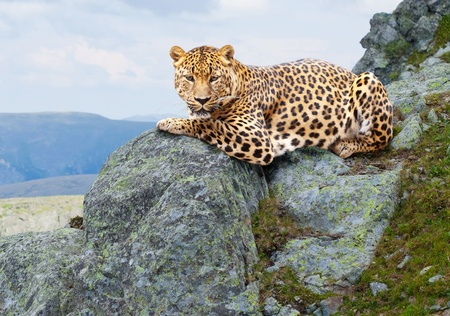 leopard on stones at wildness area Stock Photo - 13201123