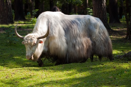 White yak  in forest area photo