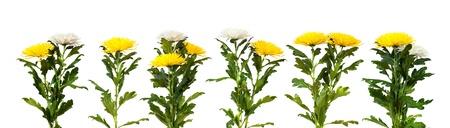 chrysanthemum flowers border. Isolated on white  background photo