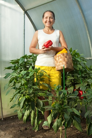 woman  harvesting  ripe pepper in greenhouse photo