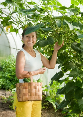 forcing bed: Smiling woman with harvesting cucumbers in greenhouse Stock Photo