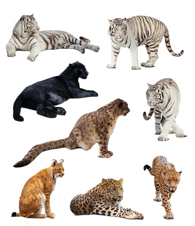 panthera: Set of  big wildcats. Isolated  over white background with shade