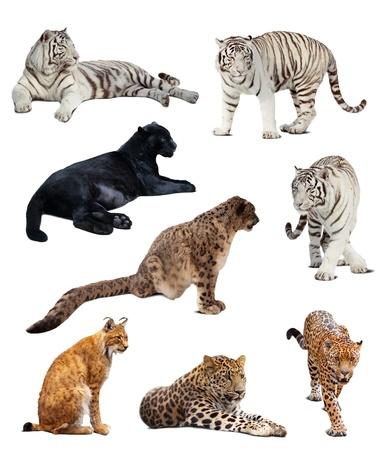 jaguar: Set van grote wilde katten. Over witte achtergrond met schaduw