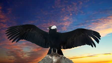 beak vulture: Andean condor on rock  against sunset sky background Stock Photo