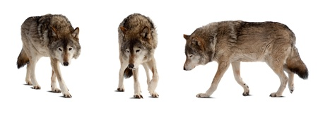 Set of few wolves. Isolated over white background with shade photo