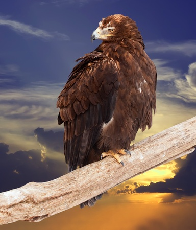 eagle sits on wood trunk against sunset sky Stock Photo - 13340946