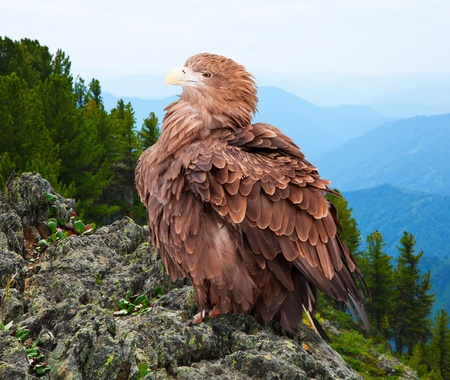 eagle on rock against wildness background photo