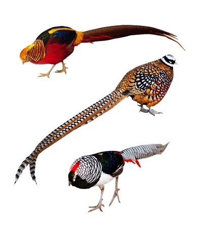phasianidae: Set of Phasianidae birds. Isolated over white background. Its Golden pheasant, Reeves Pheasant and Lady Amhersts pheasant Stock Photo