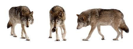 lobo feroz: Juego de pocos lobos. Aislado sobre fondo blanco con la sombra