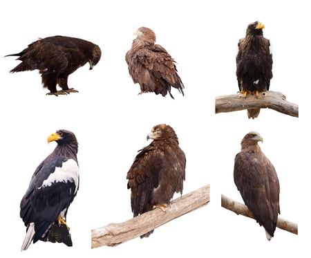 Set of eagles. Isolated over white background photo