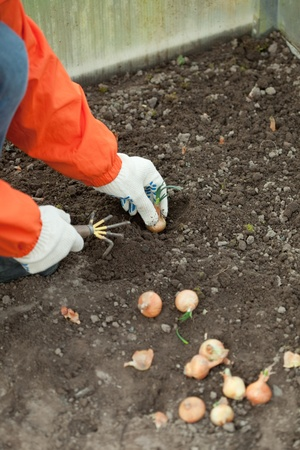 Closeup of  gardener sets onion in soil at field Stock Photo - 13453734