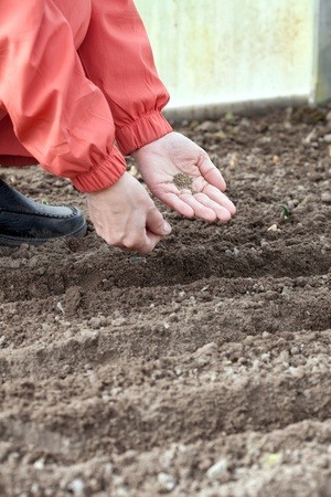 Closeup of gardener  sows seeds in soil at field photo