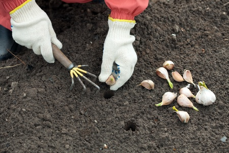 seed bed: Closeup of  gardener sets garlic in soil at field