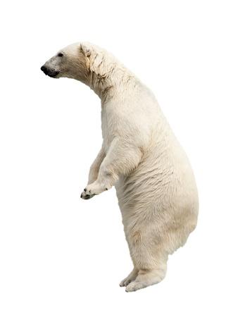 Permanent ours polaire. Isolé sur fond blanc