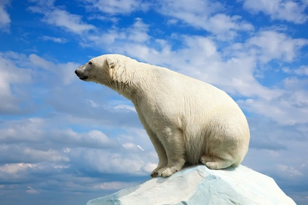 polar bear: polar bear in wildness area against sky Stock Photo