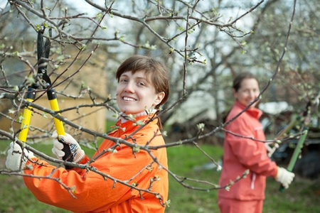 lop: Two women pruning fruits tree in the orchard