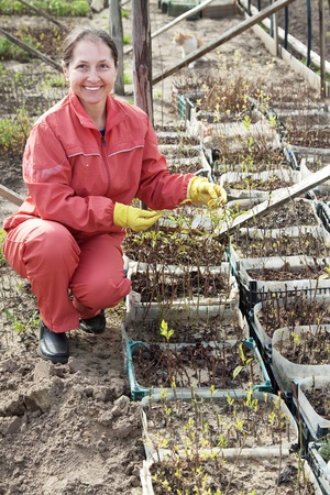 Mature woman with seedlings in pots  at hothouse photo