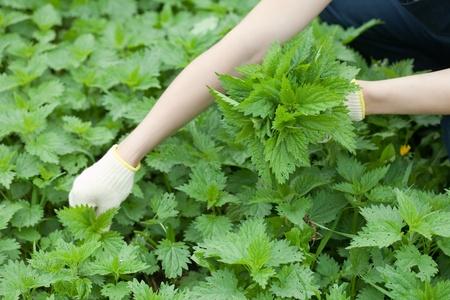 gathers: Primo piano di donna raccoglie ortica in giardino di primavera