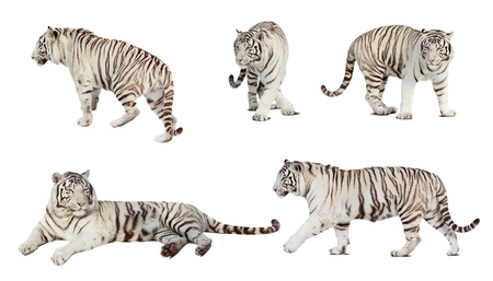 Set of white tiger. Isolated  over white background with shade
