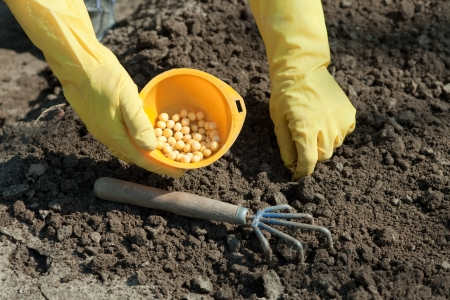 Closeup of sowing pea in soil photo
