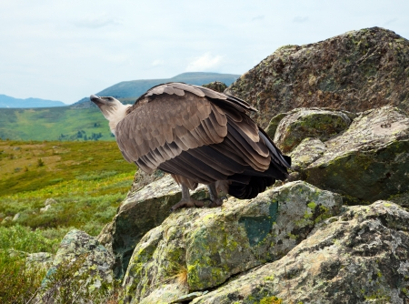 Griffon vulture (Gyps fulvus)  in wildness area photo