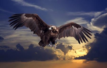 beak vulture: Flying black vulture  against sunset sky background Stock Photo