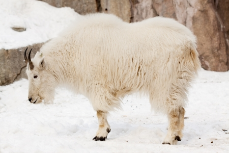 billy goat: Rocky mountain goat (Oreamnos americanus) ob snow