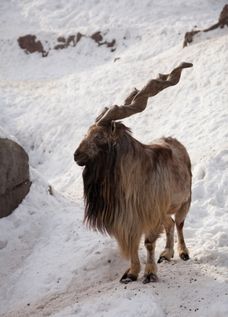 Markhor  Capra falsoneri  in wildness area Stock Photo - 13987184