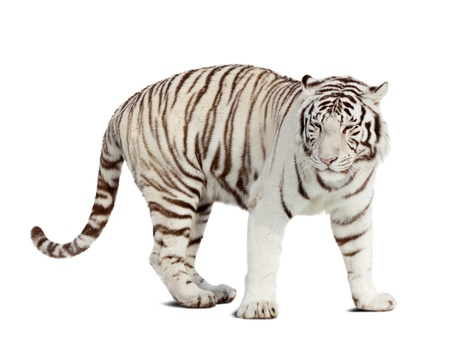 catamountain:  white tiger. Isolated  over white background with shade
