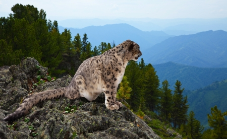 catamountain: Snow leopard  on rocky at wildness area Stock Photo