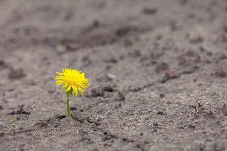 Growing  yellow flower sprout in ground   photo