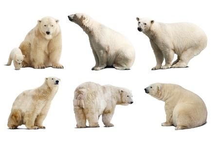oso: Juego de los osos polares. Aislado sobre fondo blanco con la sombra
