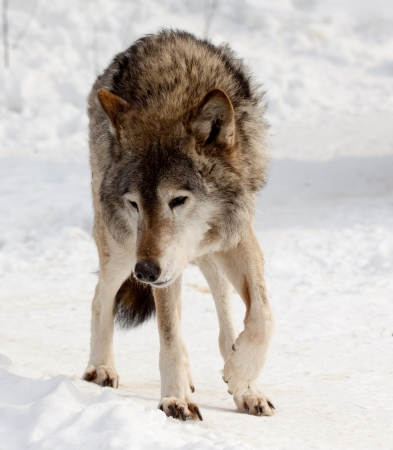 wolf on snow  in winter  photo